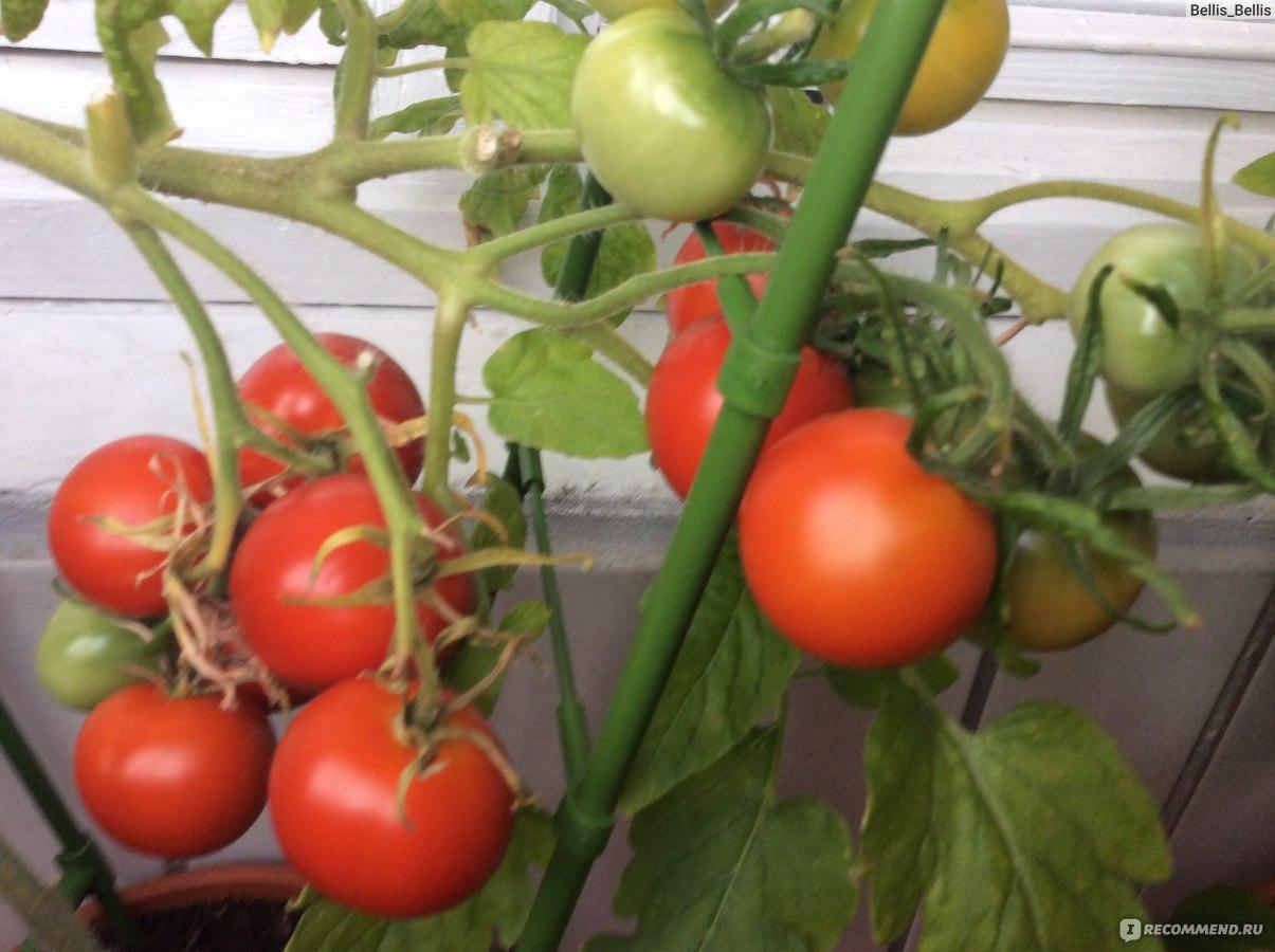Лучший сорт помидоров для балкона