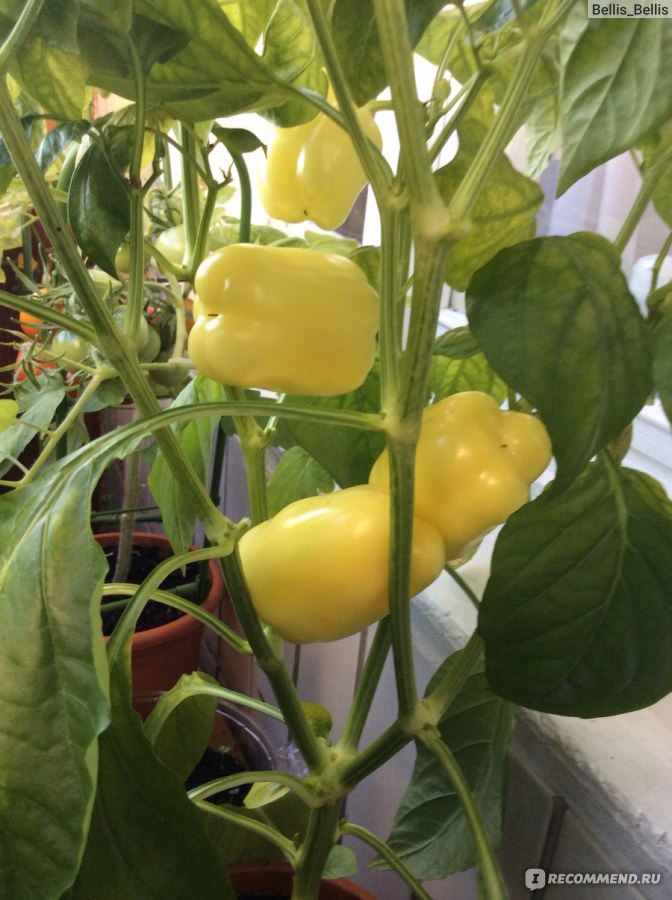 Перец сладкий выращивание в квартире 57