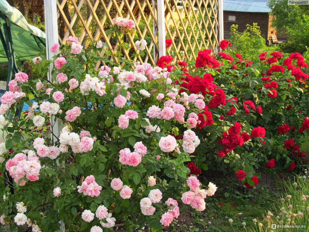 Роза плетистая фламентанц отзывы 4