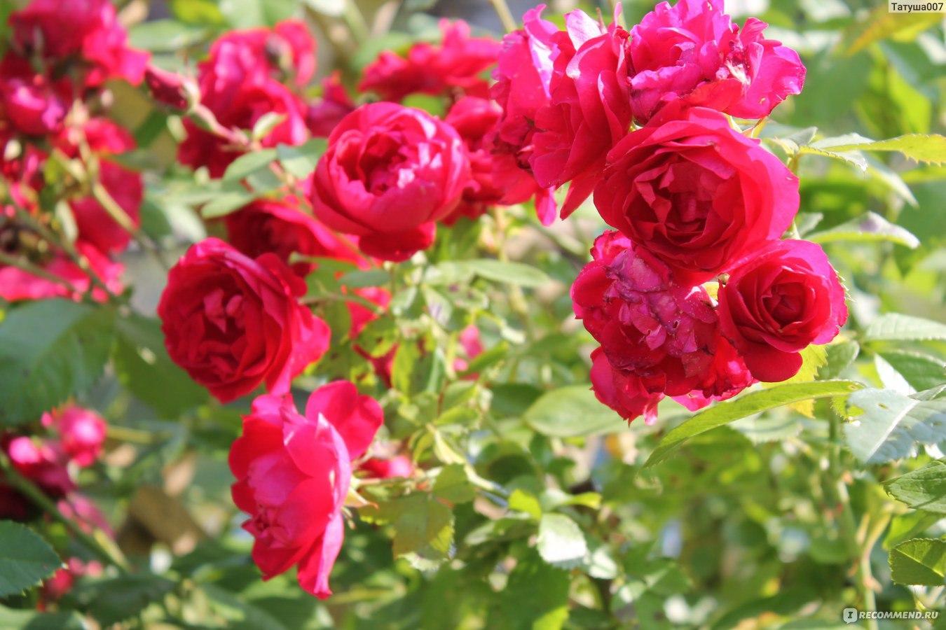 Роза плетистая фламентанц отзывы 6