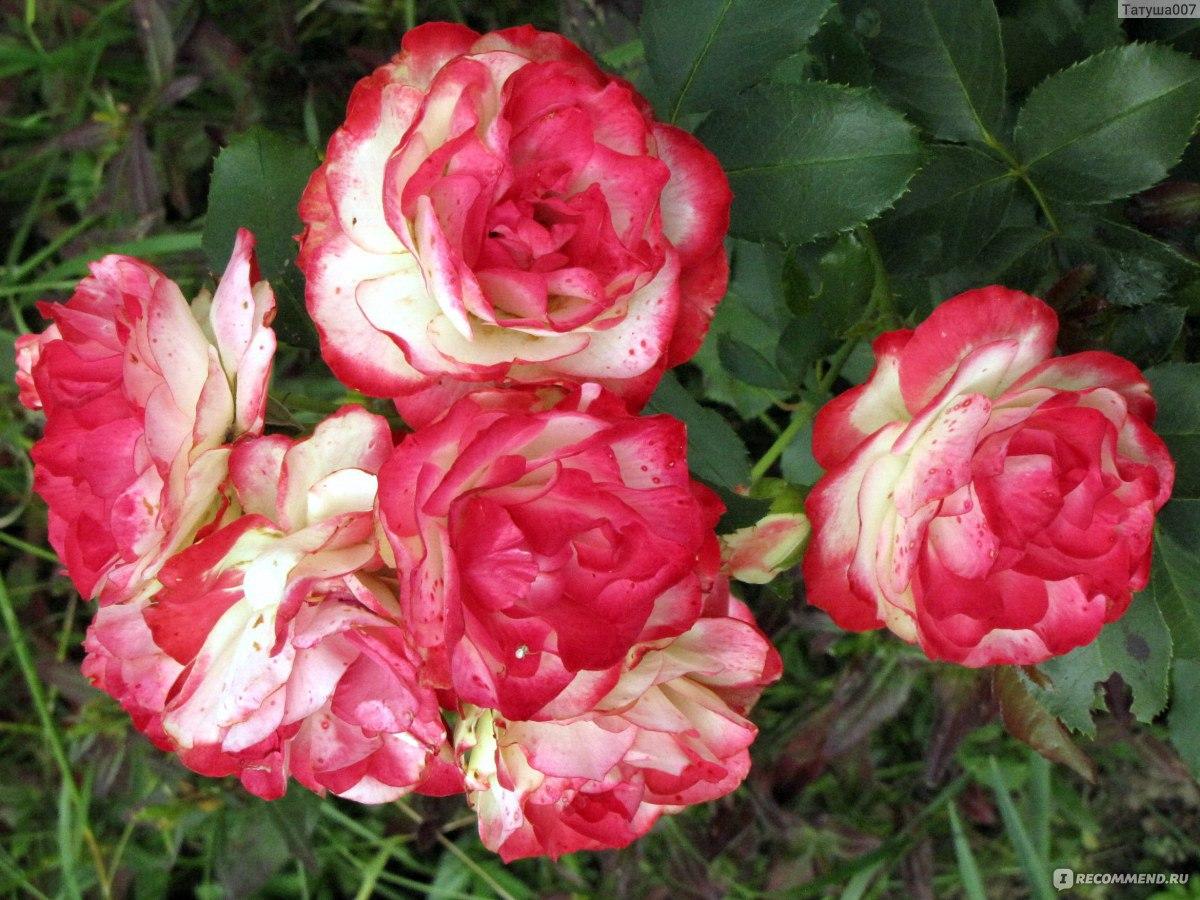 Роза юбилей санкт-петербурга фото и описание