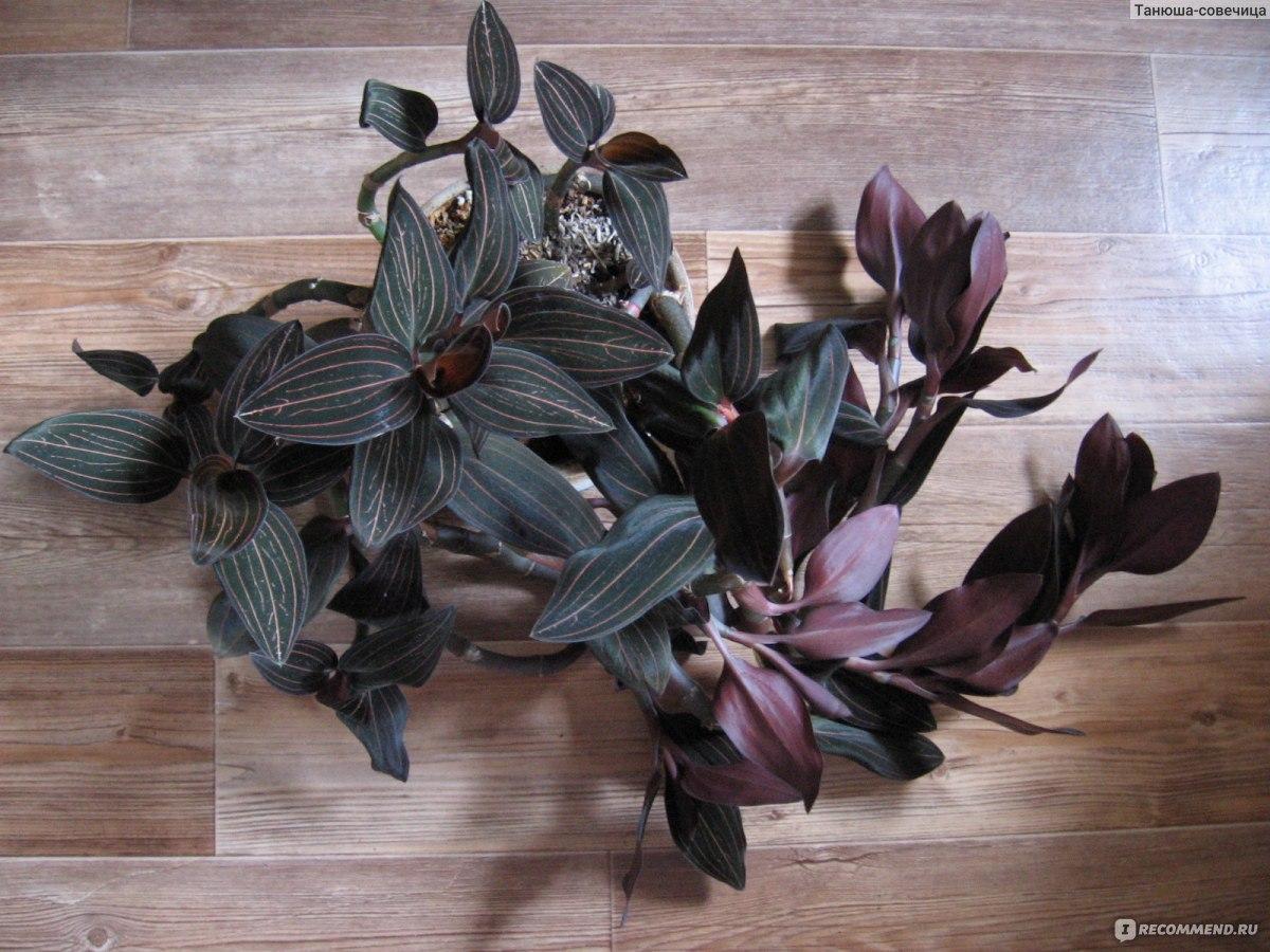 Орхидея лудизия уход 36