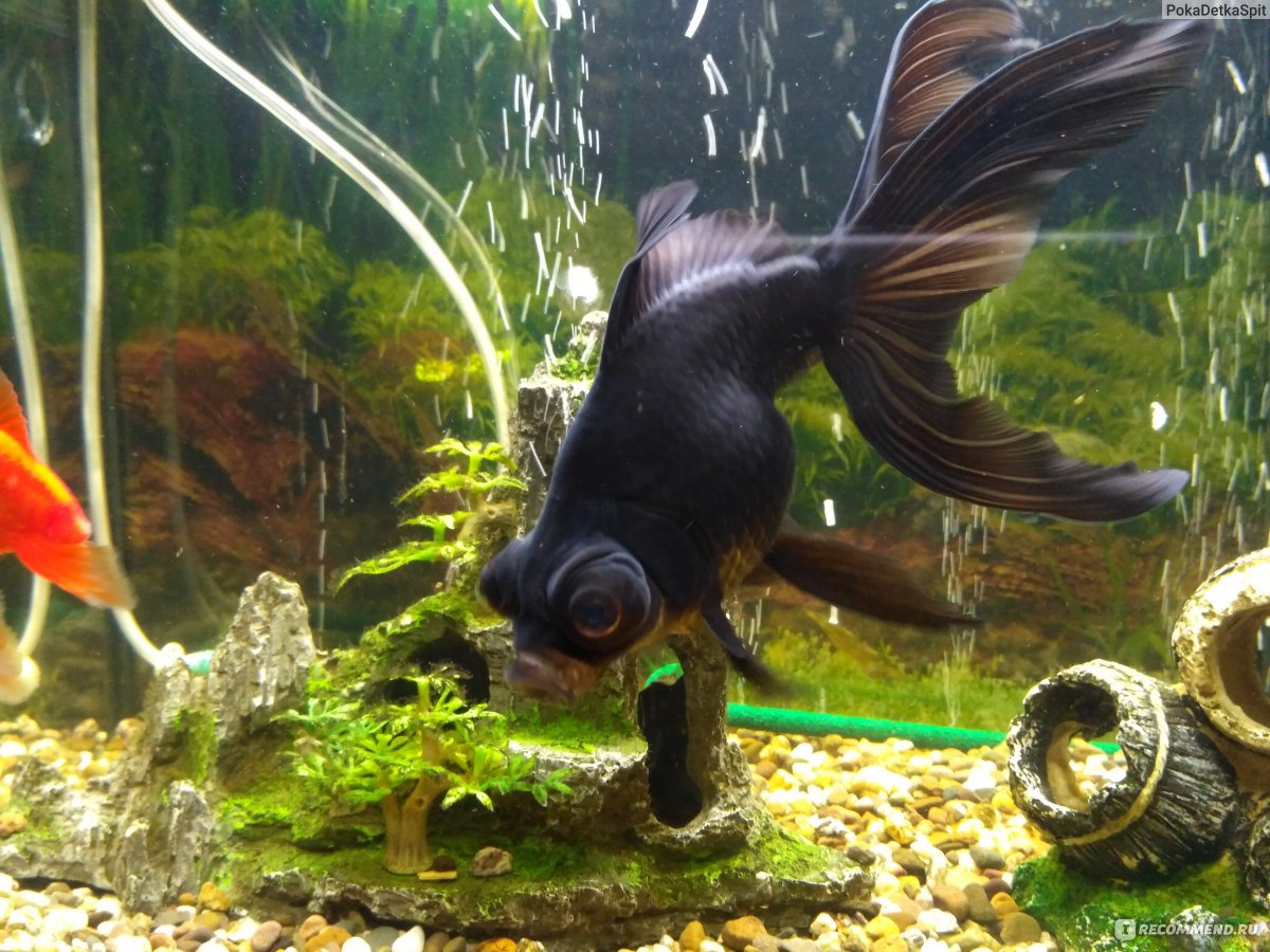 Black telescope goldfish