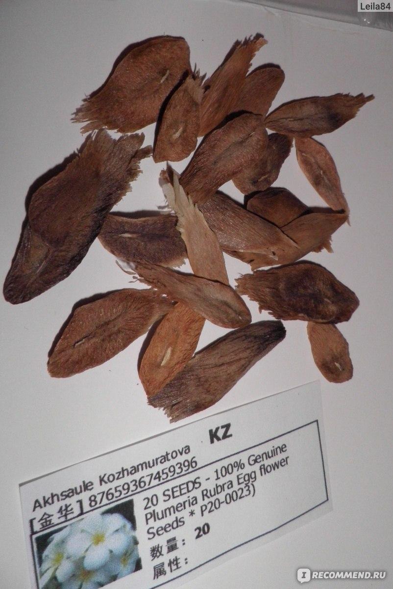семена плюмерии фото