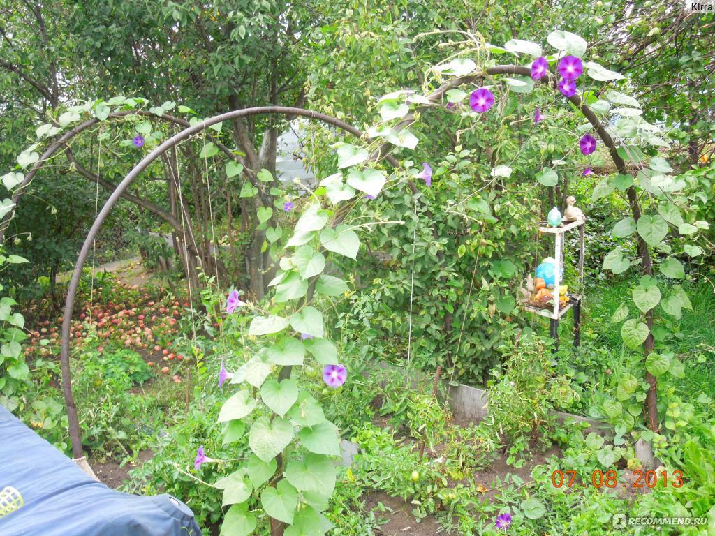Ипомея в саду