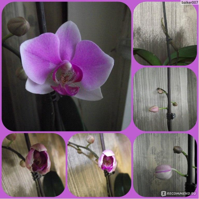 Сколько раз в год цветёт орхидея в домашних условиях 216