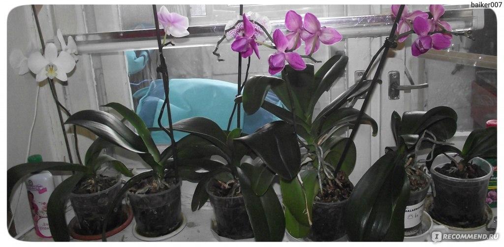 Как цветет орхидея фаленопсис в домашних условиях 182