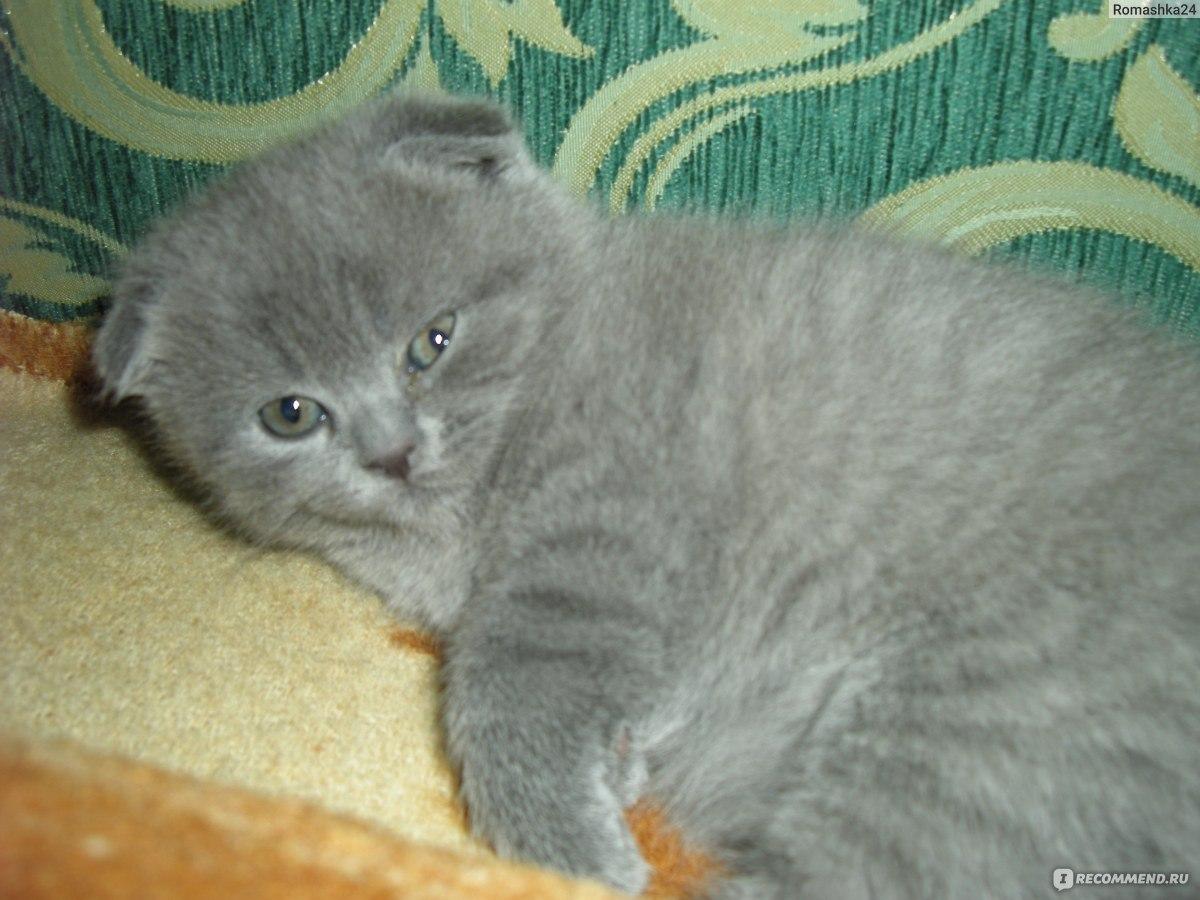 Сколько живут британские кошки в домашних условиях 72