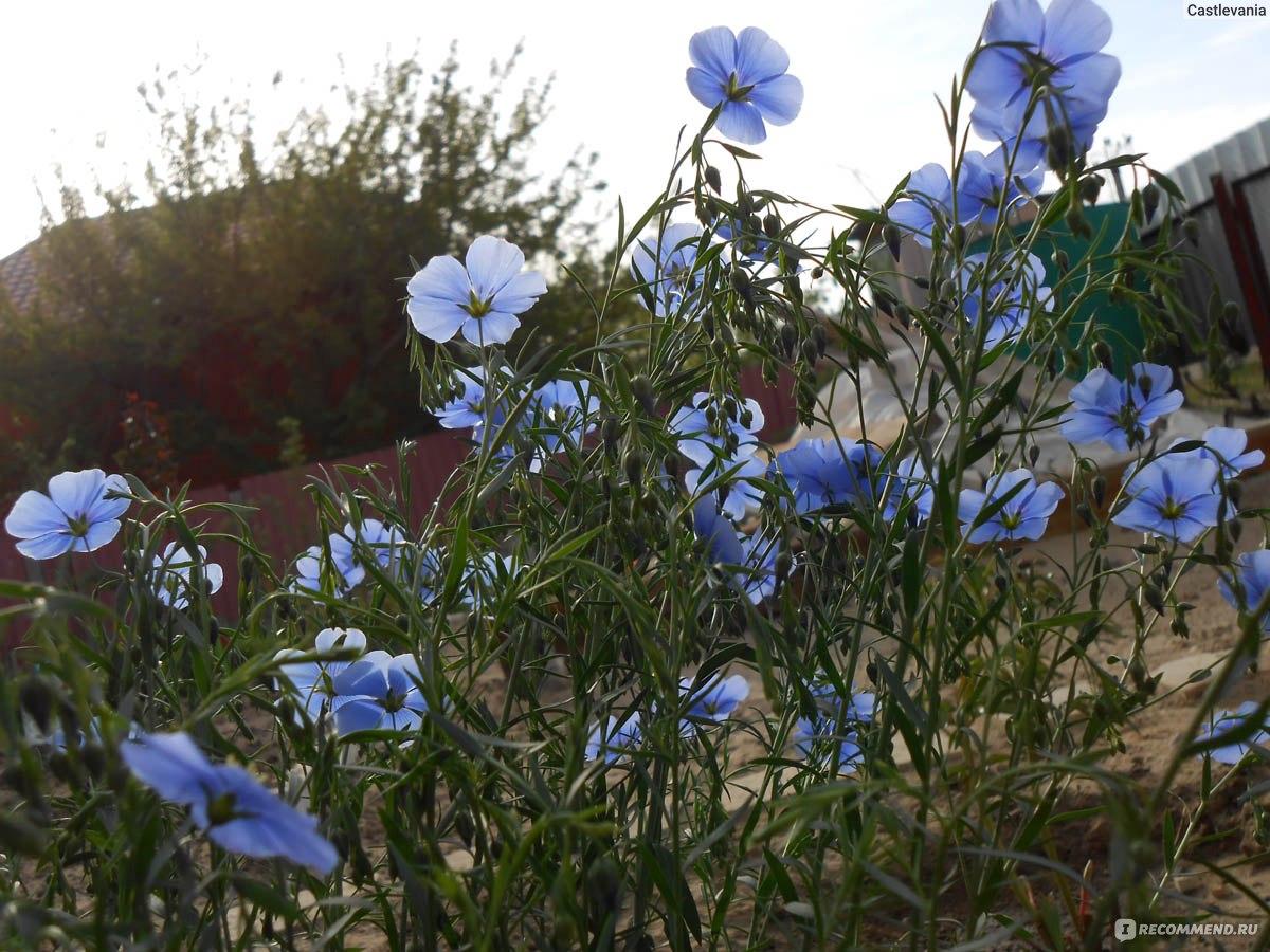 Лен декоративный выращивание из семян 85
