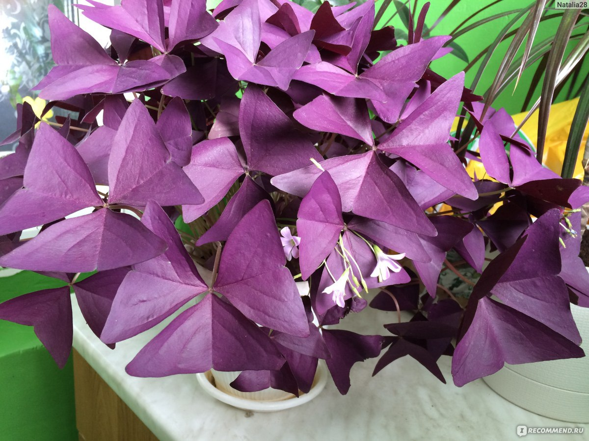 Цветок кислица треугольная фото