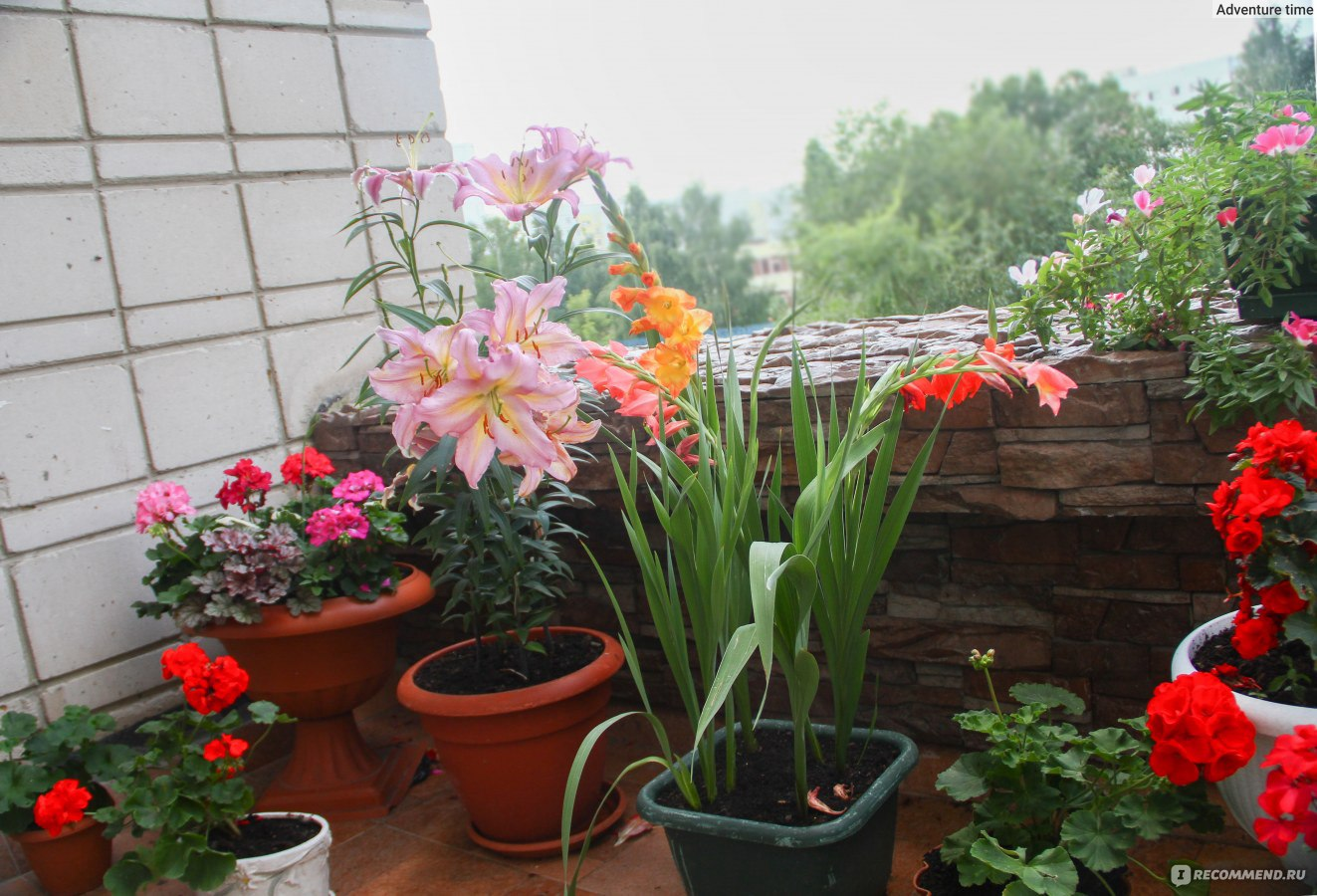 Когда сажать гладиолусы и лилии - Дачный Форум 7