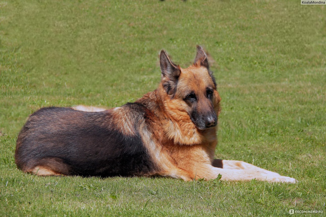 немецкая овчарка хорошая собака