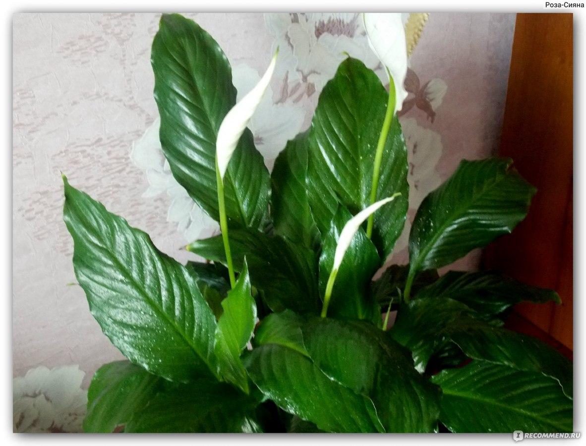 Спатифиллума цветок виды фото