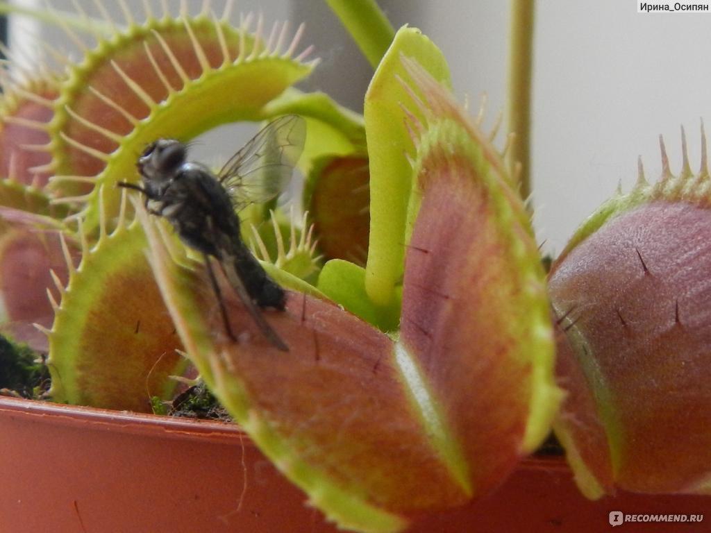 Цветок пожирающий насекомых