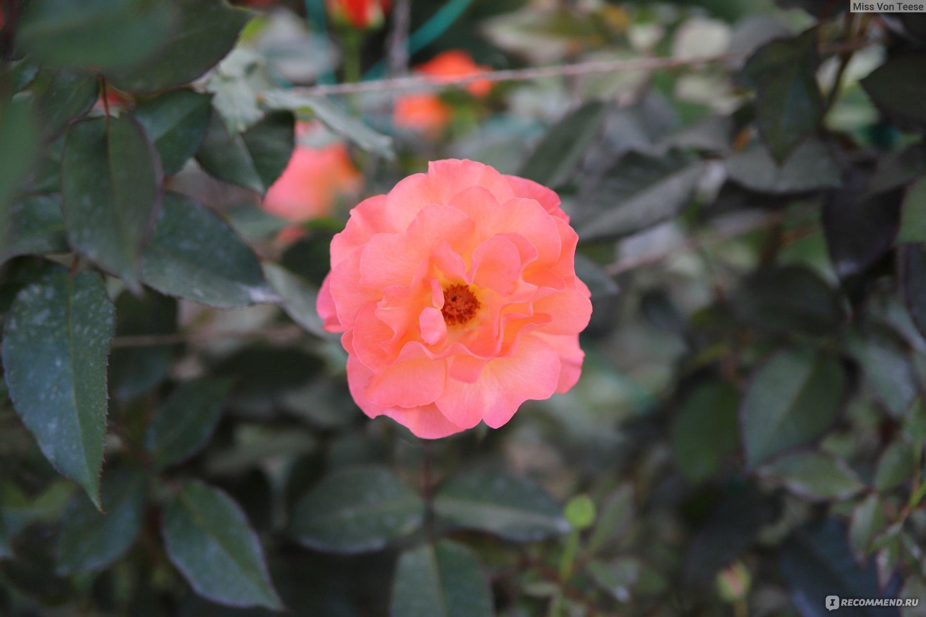 ангел плетистая роза метанойя фото выраженной остротой, невероятным