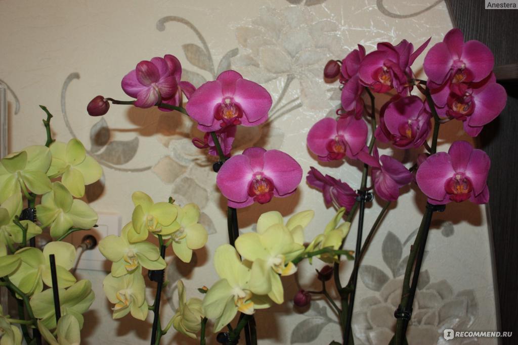 Ухаживаем за орхидеями фаленопсис в домашних условиях 554