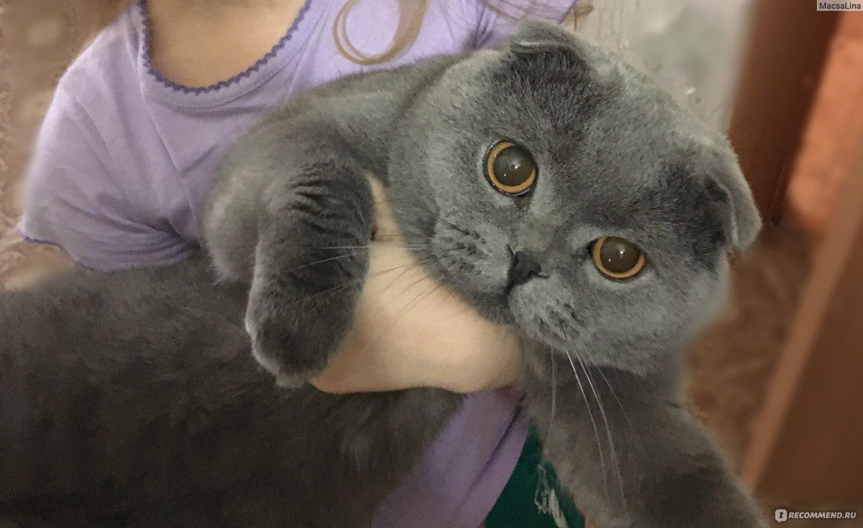 Чем кормить британскую вислоухую кошку в домашних  123
