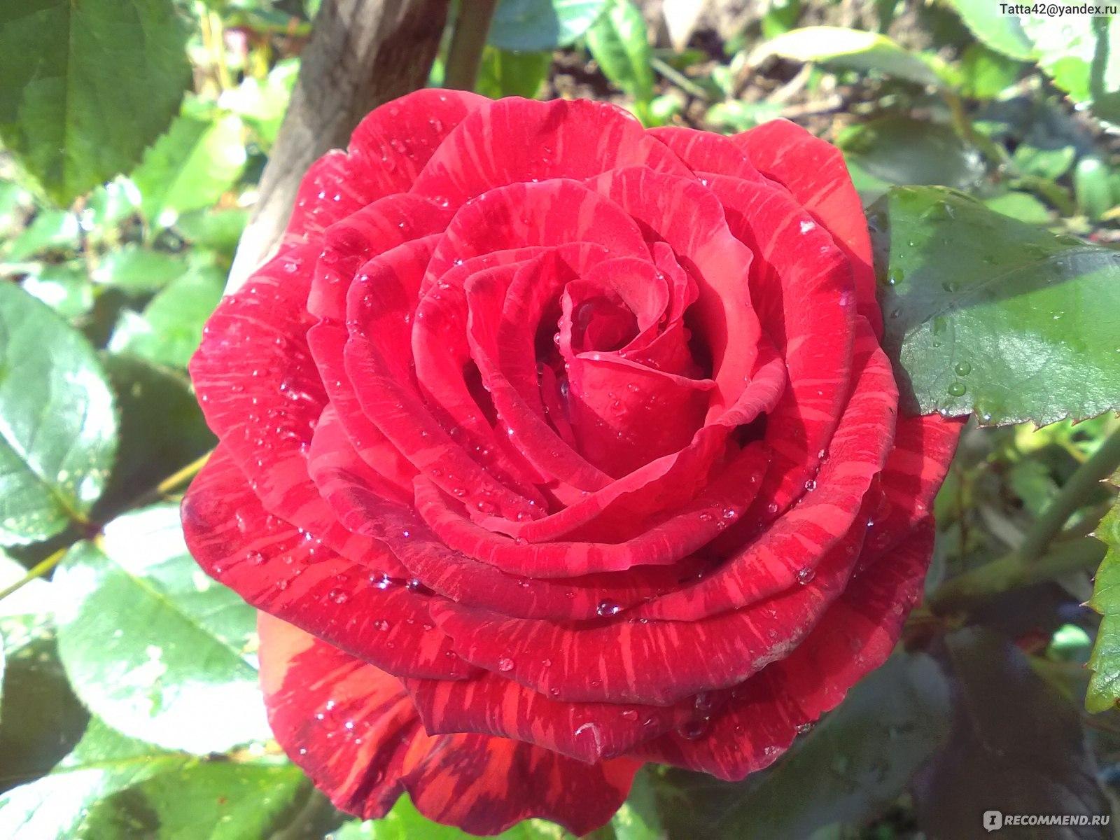песни тематика роза ред интуишн апачи фото и описание тогда