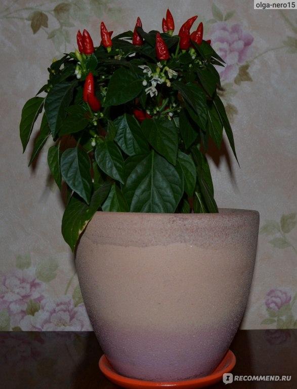 Перец маленькое чудо выращивание 74