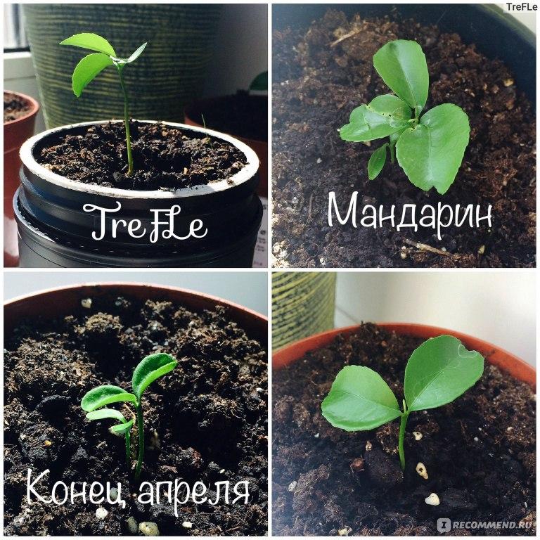 Как вырастить мандарин из косточки выращиваем в домашних условиях 652