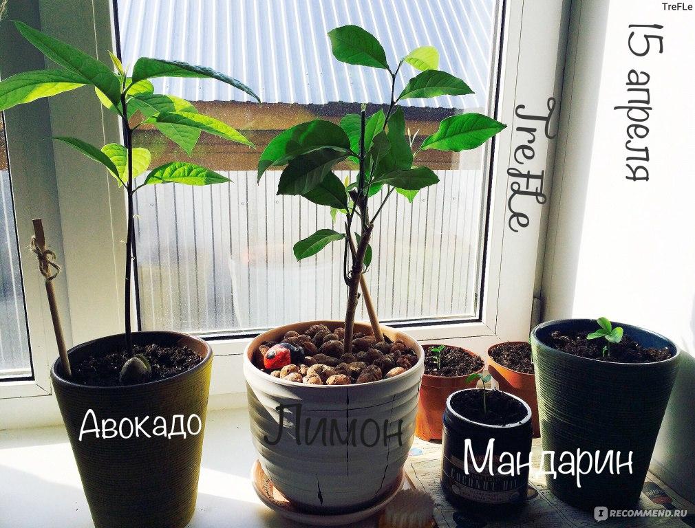 Как вырастить мандарин из косточки выращиваем в домашних условиях 830