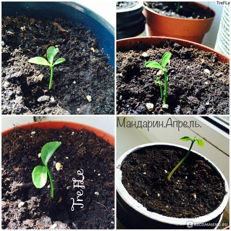 Как вырастить мандарин из косточки выращиваем в домашних условиях 232