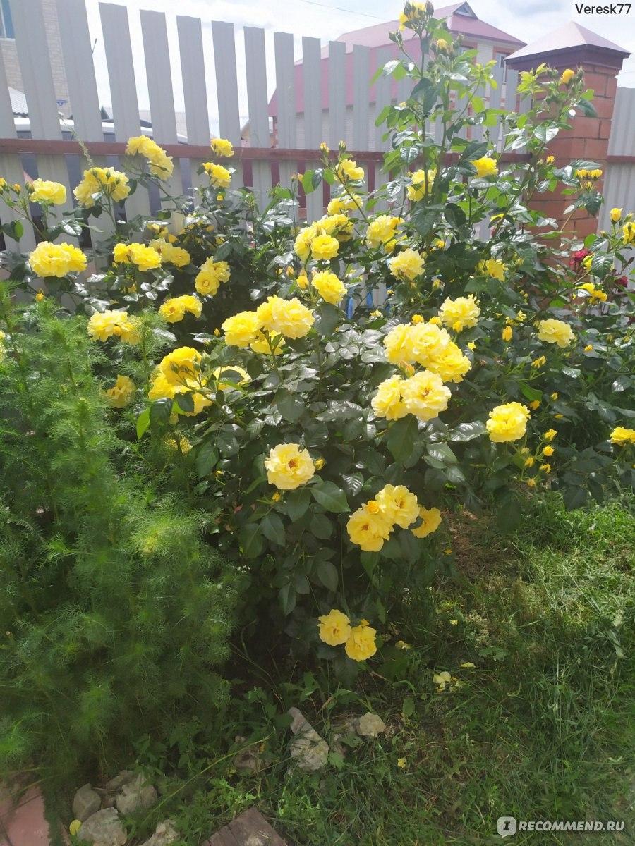 Розы алтая плетистая казино чат рулетка онлайн бесплатно россия