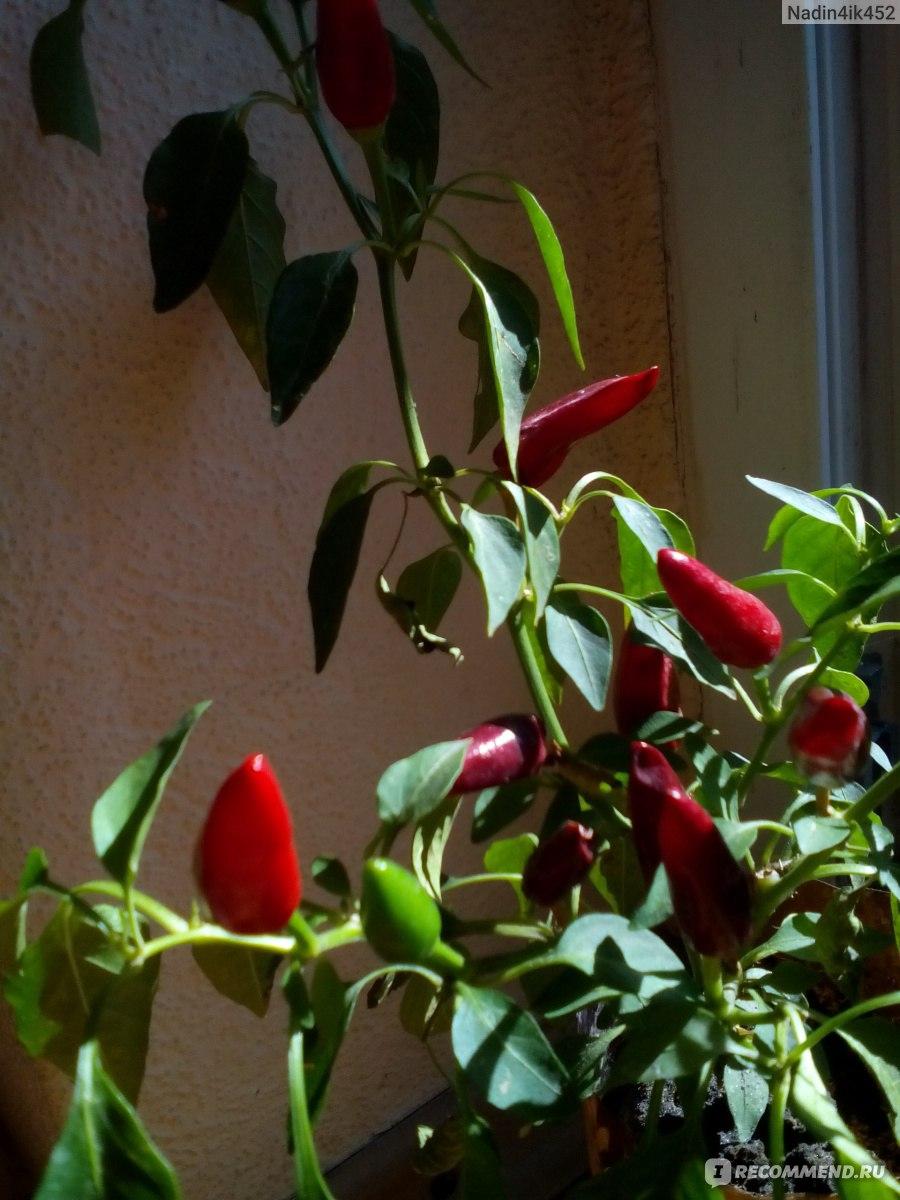 Перец «Огонек» выращивание в домашних условиях