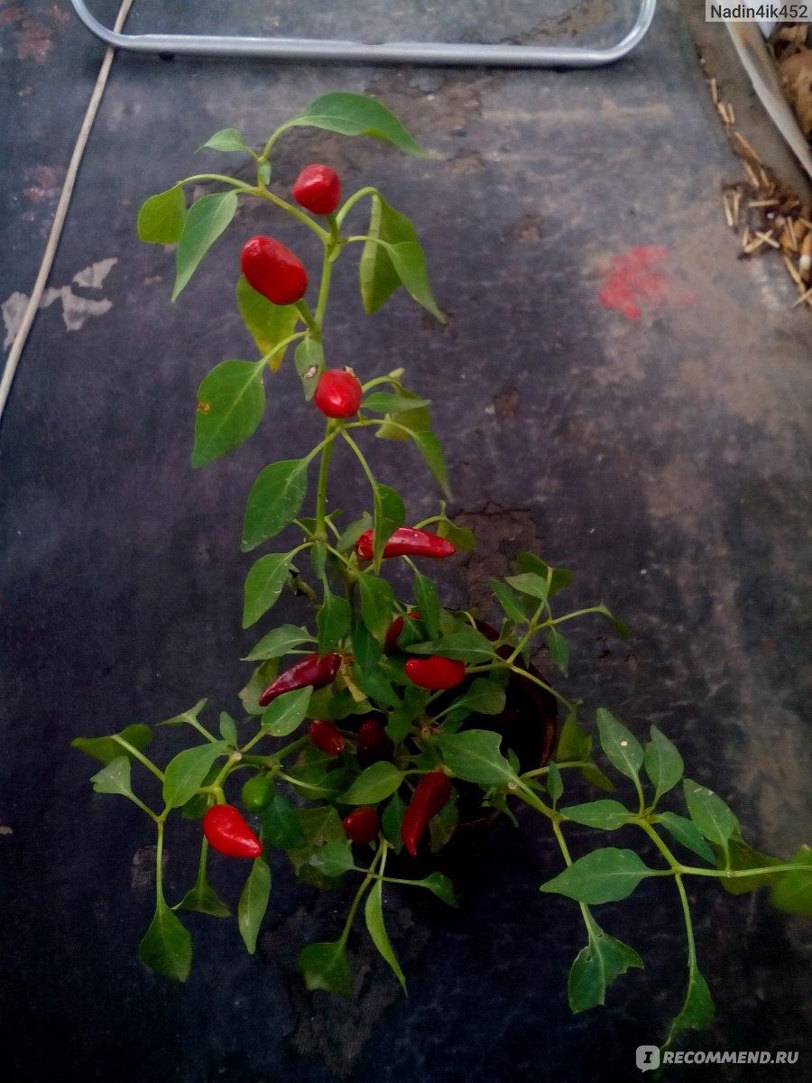 Перец «Огонек» выращивание в домашних условиях 33