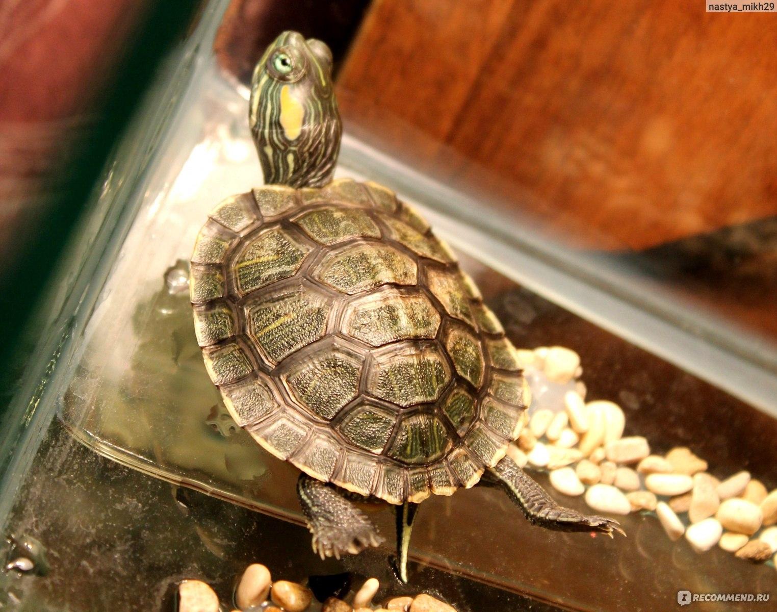 Беременность черепах и откладка яиц - Черепахи. ру - все о
