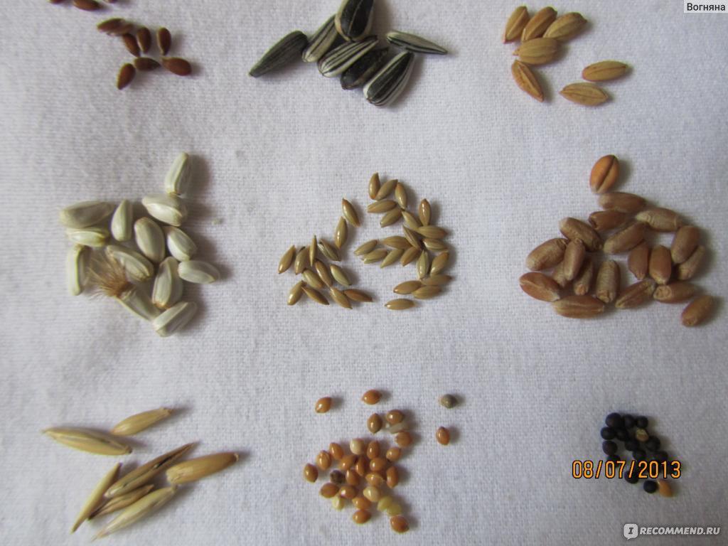 канареечное семя фото