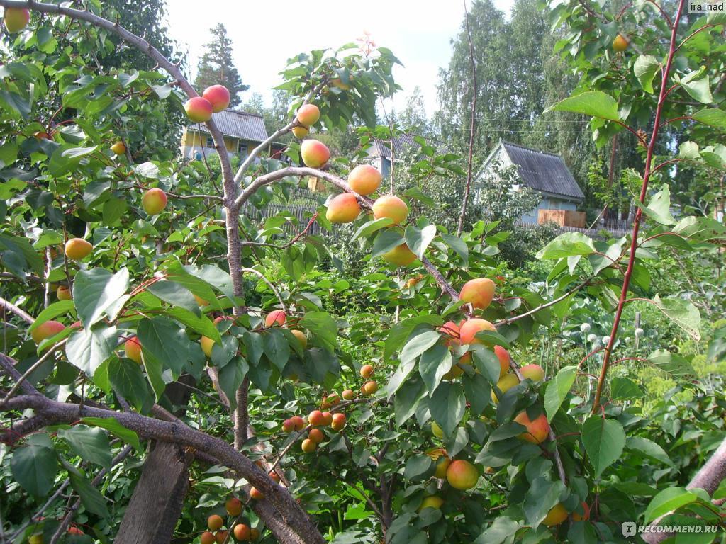 Выращивание абрикосов в сибири 847