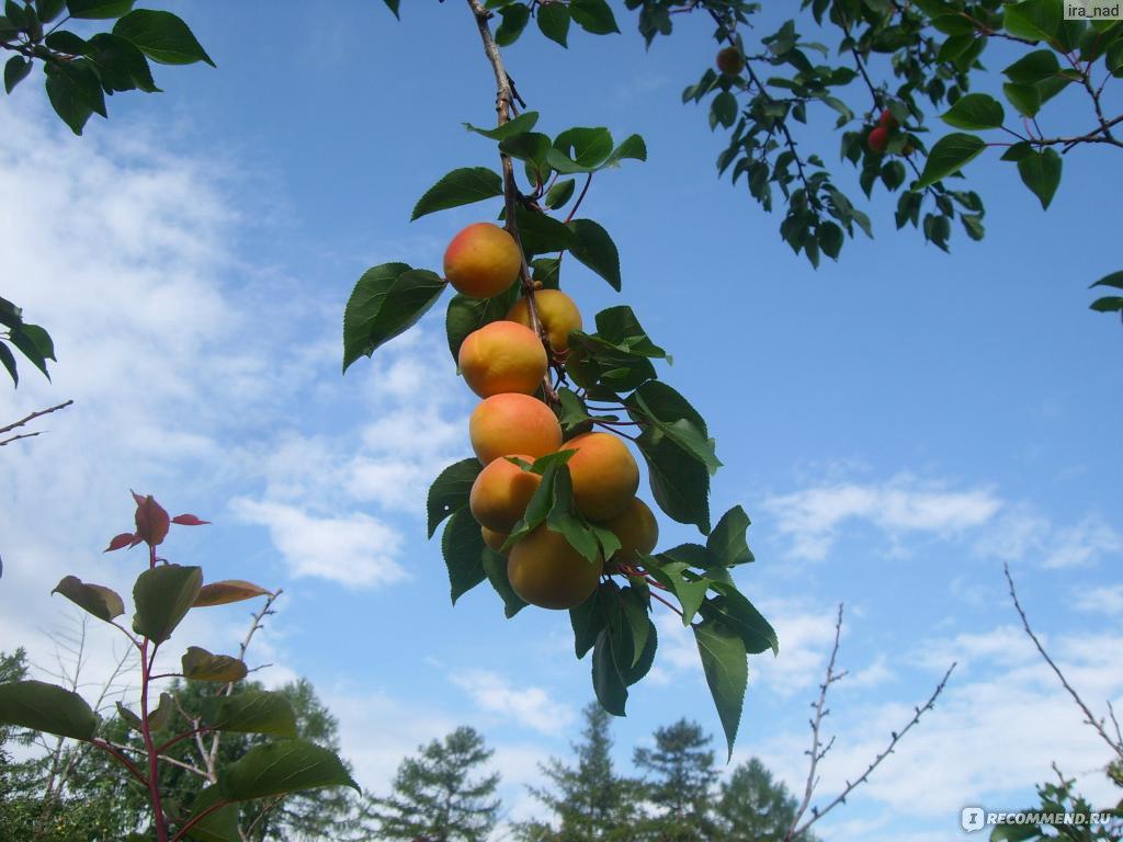 Выращивание абрикосов в сибири 394