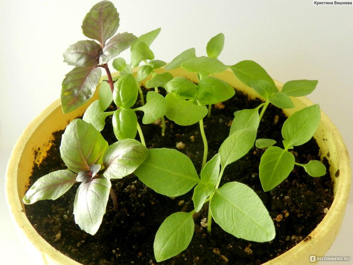 Фиалки из семян в домашних условиях