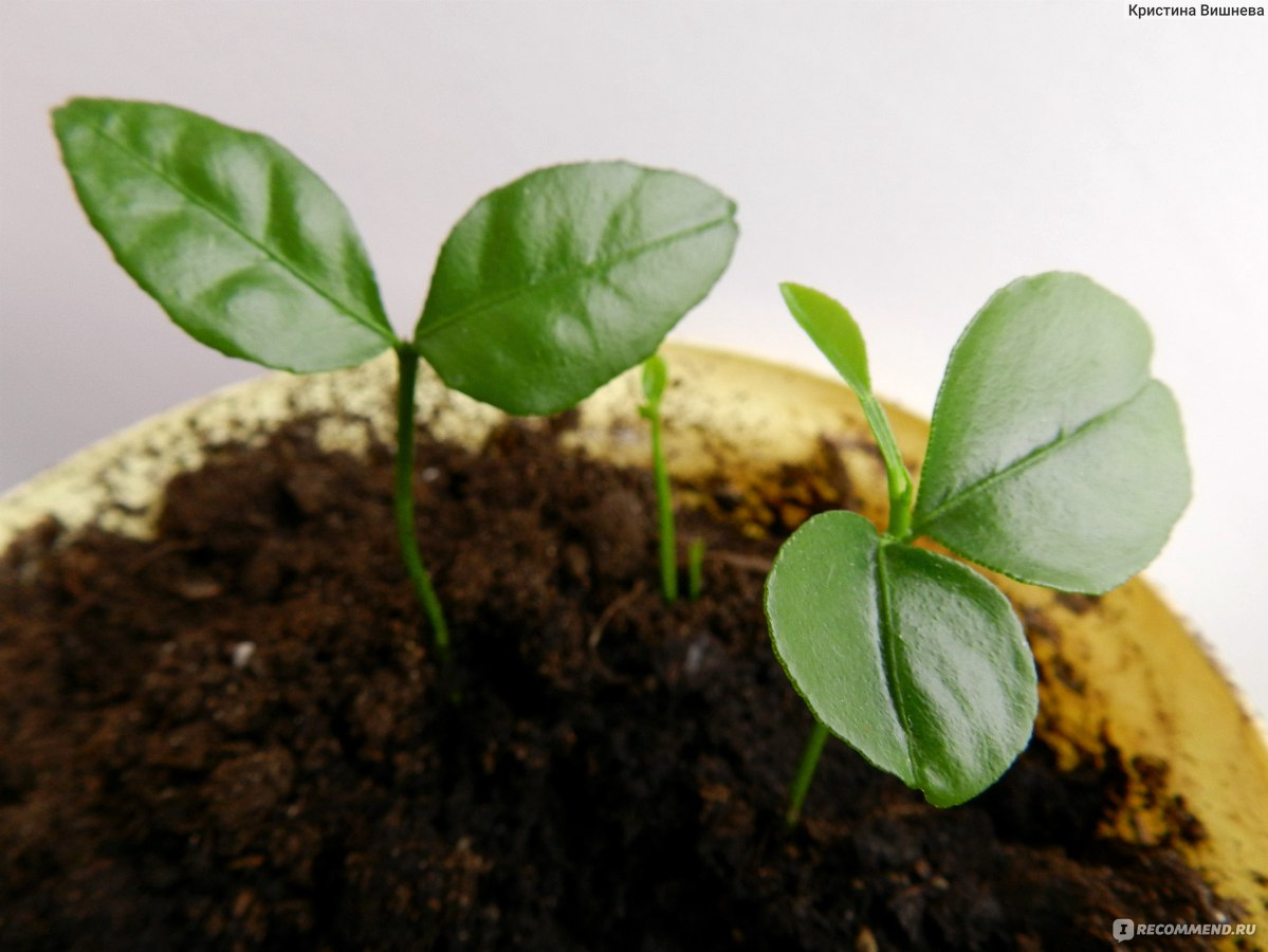 Как посадить черешню в домашних условиях 617