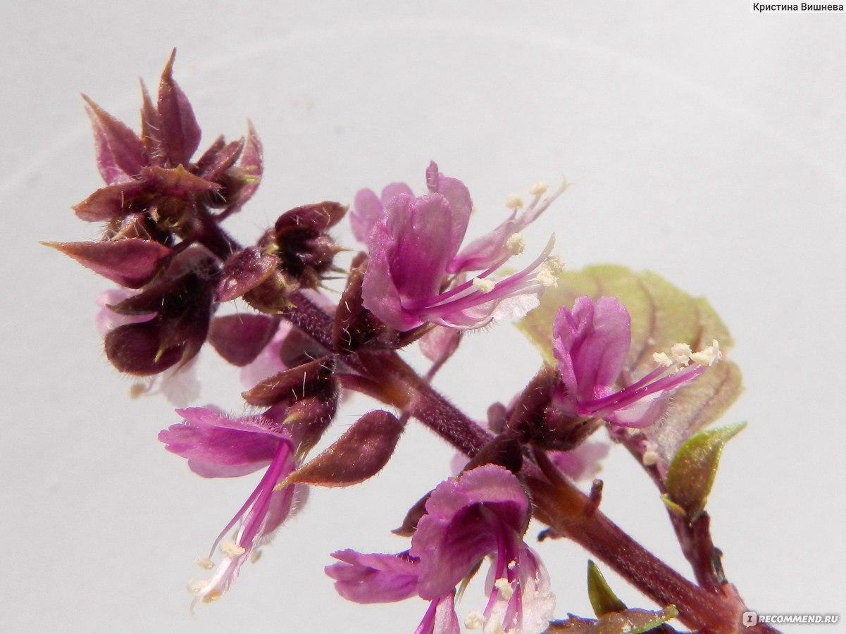 Базилик цветы