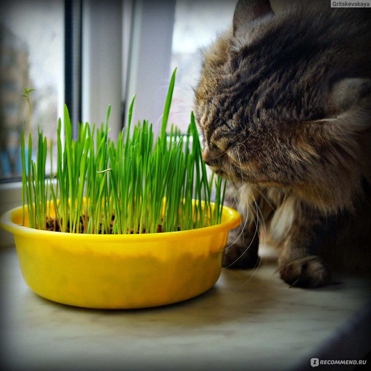 Какую траву сажают для кошек 96
