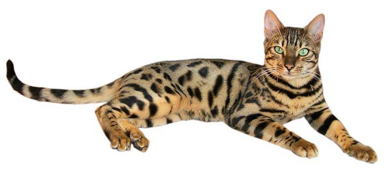бенгальская кошка фото характер