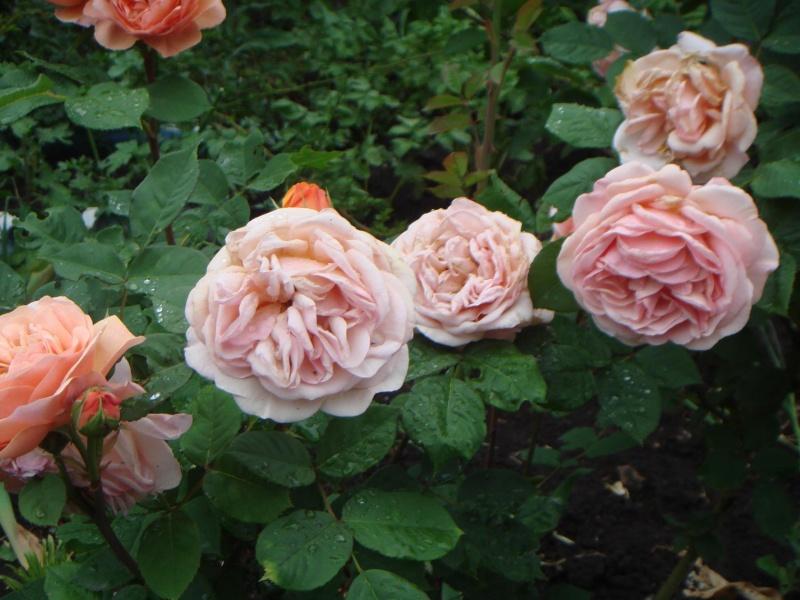 в полыне розы не растут