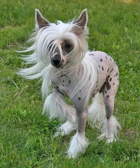 фото китайская хохлатая собака