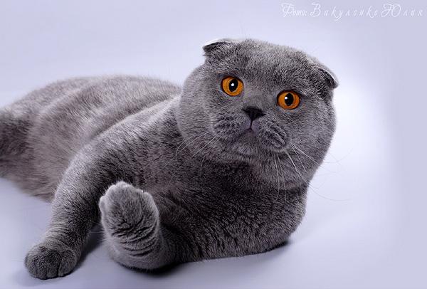 британец кот вислоухий фото