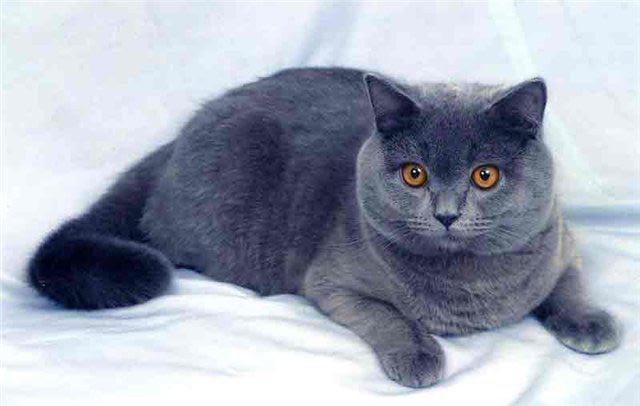 Британская короткошёрстная кошка — Википедия | 406x640