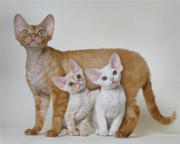Кот или кошка из девон рексов