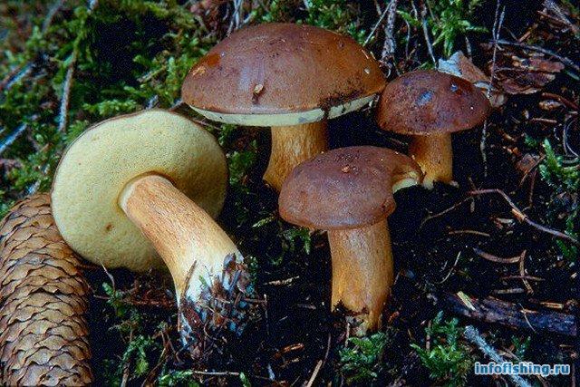 ложный польский гриб фото описание