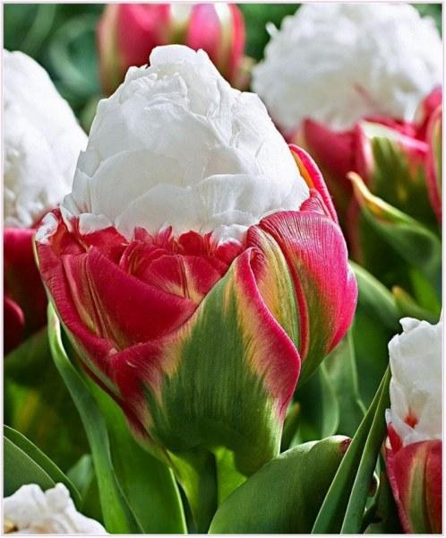 фото тюльпан айс крим