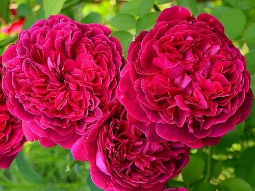 роза вильям шекспир фото и описание