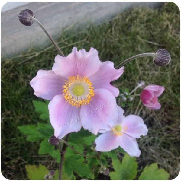 Анемона цветы название и фото