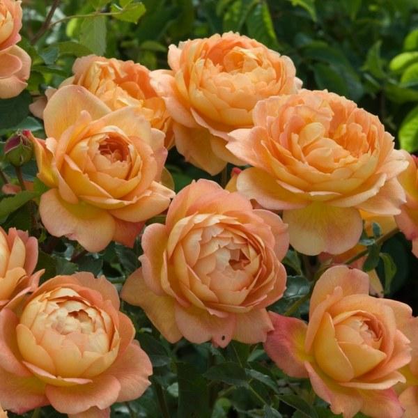 Lady of shalott роза отзывы