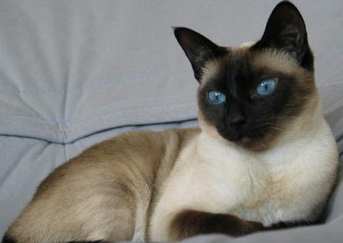 Тайская порода кот или кошка
