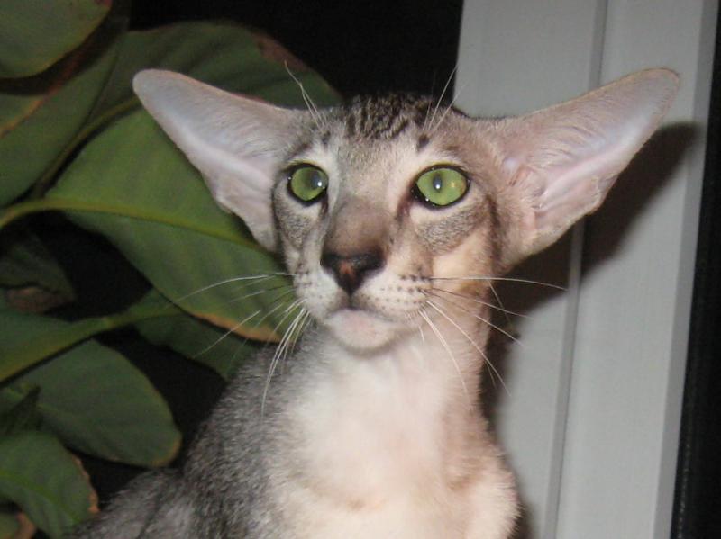 кошки породы ориентал фото